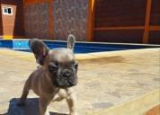 Hermosos bulldog francés a la venta!